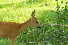 New Born Roe Deer, Wild Spring Nature.