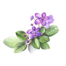 Hand Drawn Watercolor Of African Violet Flowers. Illustration For Your Design.