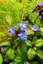Blue Flowers Of Hardy Plumbago (Ceratostigma Plumbaginoides), Also Known As Leadwort, In Front Of 'Georgia Pancake' Threadleaf Bluestar (Amsonia Ciliata Var. Filifolia 'Georgia Pancake') In Fall Color