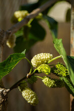 In Hot Summer Sunny Weather, White Mulberry Begins To Ripen On A Tree