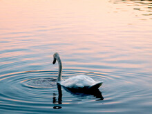 Swan Over Lake Eola Park Durin...