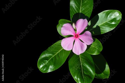 Obraz na plátně pink vinca flower isolated on black background