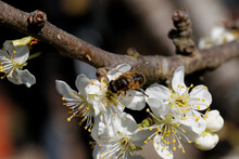 A Hoverfly Nectaring A Plum Blossom.