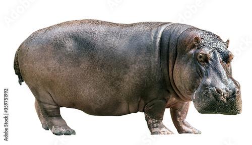 Fotografia, Obraz Hippopotamus isolated on white background