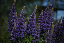 Blooming Lupine Flowers (Lupin...