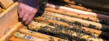 A Farmer On A Bee Apiary Holds...