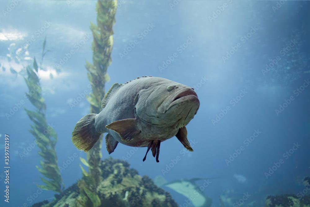 Fototapeta Big white grouper