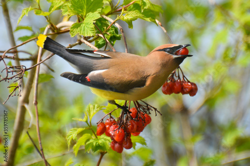 Photo Cedar Waxwing eating berries from Cranberry Viburnum