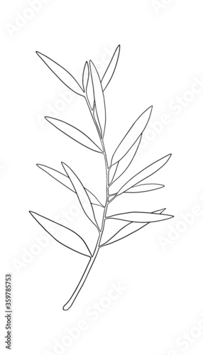 Fototapeta Vector sketch of olive tree branch. Hand drawn line art. Outline drawing illustration obraz