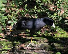 American Coot Bird Stock Photo...