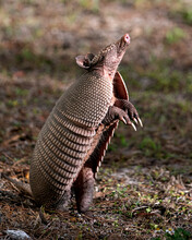 Armadillo Stock Photos.  Image...