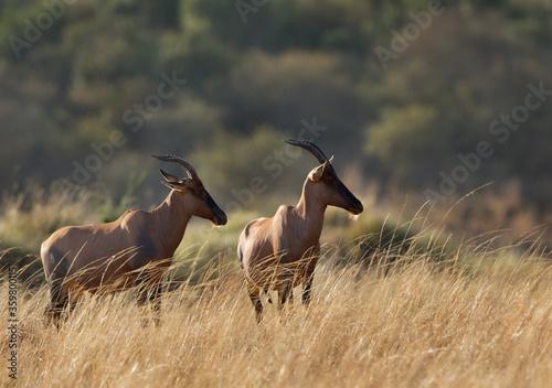 Leinwand Poster Topi antelopes standing in the Svannah grassland, Masai Mara