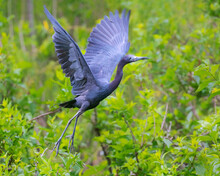 The Little Blue Heron In Fligh...