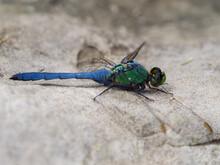 Dragonfly - Eastern Pondhawk On A Rock