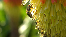 Wasp On A Red Hot Poker Kniphofia Full Bloom In A Garden