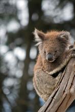 The Joey Koala Is Climbing A T...