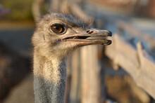 An Ostrich On An Open Beak Ran...