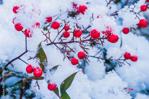 Red berries on branches covered with snow. Canvas Print