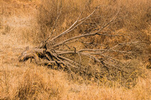 Large Dead Tree Laying On Hill...