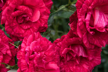 Several Flowers Of Red-pink Ro...