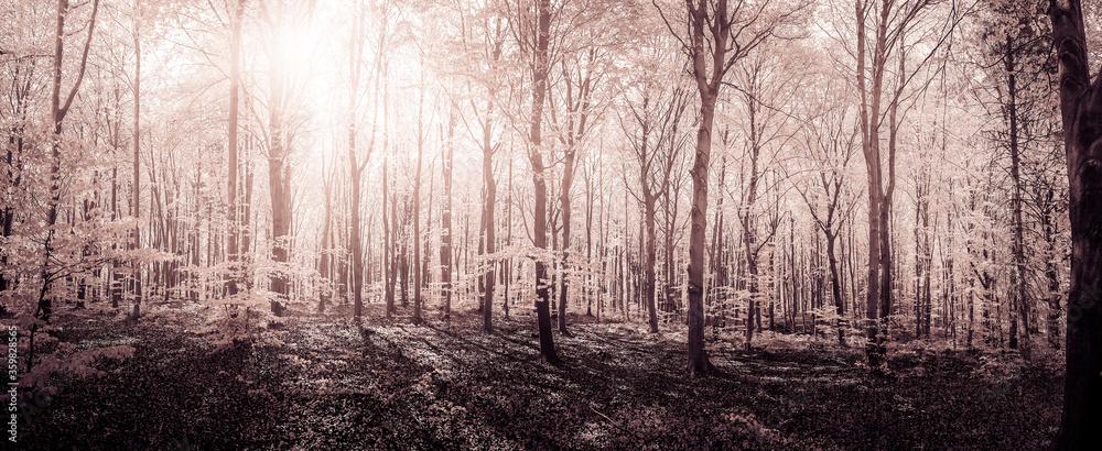 Fototapeta Beech forest in spring by soft light
