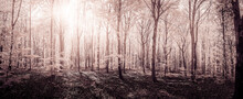 Beech Forest In Spring By Soft...