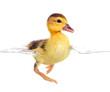 duckling in studio