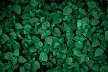 Dense Dark Green Leaves In The Garden. Emerald Green Leaf Texture. Nature Abstract Background. Tropical Forest. Above View Of Dark Green Leaves With Natural Pattern. Tropical Plant Wallpaper. Greenery