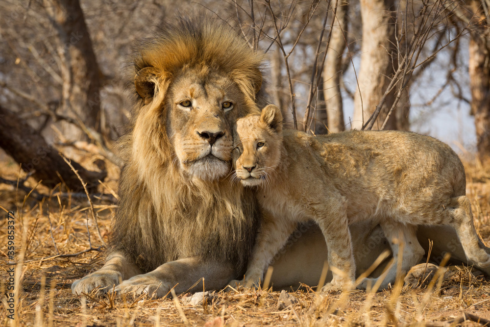 Fototapeta Horizontal portrait of male lion with big mane and a lion cub standing next to him in Kruger National Park South Africa