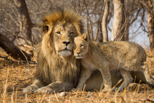 Horizontal Portrait Of Male Lion With Big Mane And A Lion Cub Standing Next To Him In Kruger National Park South Africa