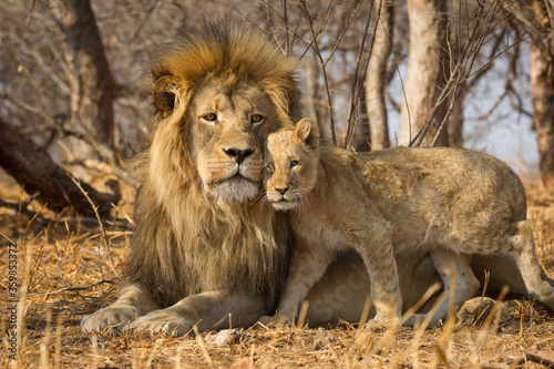 Fototapeta Horizontal portrait of male lion with big mane and a lion cub standing next to h