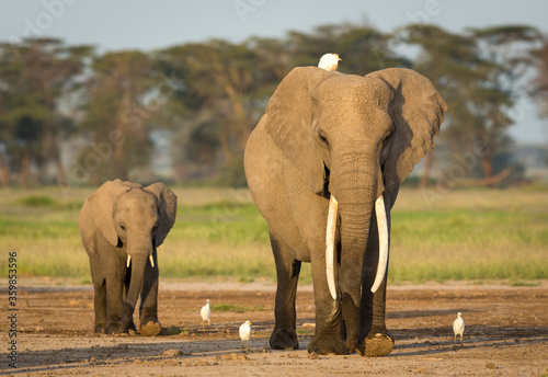 Fototapety, obrazy: Mother and baby elephant walking with egrets in Amboseli National Park in Kenya