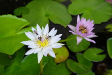 Beautiful White,pink Water Lilies With Green Leaves And Bees And Flys Inside Of Lotus.
