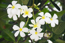 There Are Many Types Of Frangipani Flowers. Some People Believe That Frangipani Should Not Be Planted In The House Because It Is Believed To Be Inauspicious.