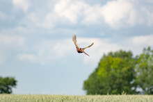 Pheasant Flying Over Wheat Field