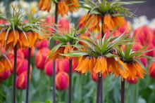 Imperial Crown Orange Tulips N...
