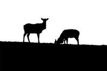 Young Deer Silhouettes In The ...