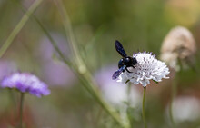Large Carpenter Bee Feeding On Lilac Coloured Pincushion Flowers In A Wildflower Meadow