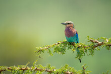 Lilac-breasted Roller Perches ...
