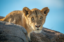 Lion Cub Watches Camera On Roc...