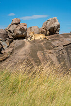 Lioness Lies On Rocky Outcrop ...