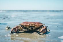 Krabbe Im Wattenmeer