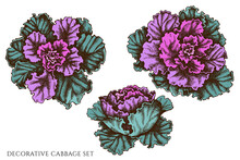Vector Set Of Hand Drawn Colored Decorative Cabbage