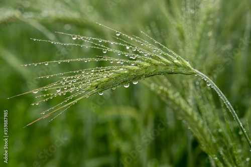 zielony kłos pszenicy w deszczu - fototapety na wymiar