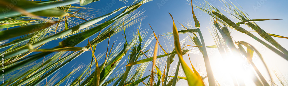 Fototapeta Looking up through wheat stems