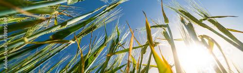 Obraz Looking up through wheat stems - fototapety do salonu