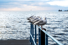 Seagulls Sit On The Pier On The Shore And Look Expressively At The Camera, Near A Lake Or The Sea, In The Dock At Sunset, Waves On The Water Surface.
