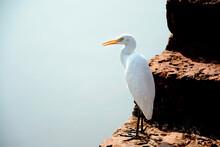 Great White Egret Bird  (bagu...