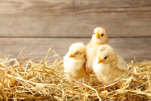 Three Chicks In A Straw On Gre...