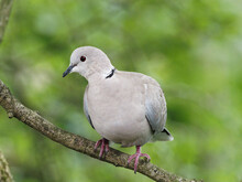 A Collared Dove (Streptopelia ...